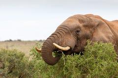 Afrykanina Bush słonia chrupanie na gałąź Fotografia Royalty Free