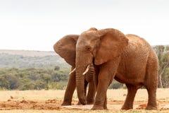 Afrykanina Bush słonia pozycja przy podlewanie dziurą Zdjęcie Stock