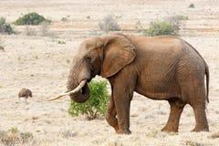 Afrykanina Bush słonia relaksować i pozycja Obraz Stock