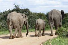 Afrykanina Bush słonia rodzina, Addo słonia park narodowy Zdjęcie Stock