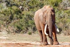 Afrykanina Bush słonia woda pitna przy tamą Obraz Royalty Free