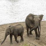 Afrykanina Bush słonie biorą piaska skąpanie na plaży Mara Riv Zdjęcie Royalty Free