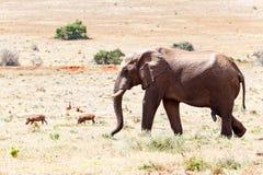 Afrykanina Bush słonia odprowadzenie Obraz Stock