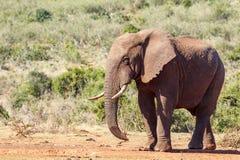Afrykanina Bush słonia pozycja Zdjęcie Stock