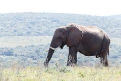 Afrykanina Bush słonia pozycja w polu Zdjęcia Stock