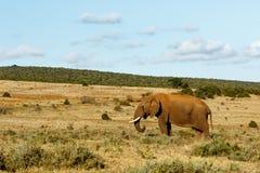 Afrykanina Bush słonia pozycja w wielkim polu Fotografia Stock
