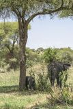 Afrykanina Bush słonia rodzina Zdjęcia Stock