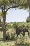 Afrykanina Bush słonia rodzina Zdjęcie Stock