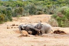 Afrykanina Bush słonia rodzina Obraz Stock