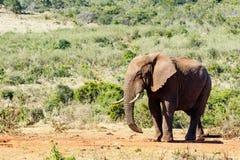Afrykanina Bush słonia sneaky spojrzenie Fotografia Royalty Free