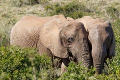 Afrykanina Bush słonie stoi blisko do each inny Obraz Royalty Free