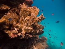 afrykanina dolny korala ryba lionfash blisko jadowitego czerwonego morza underwater światu Zdjęcia Stock