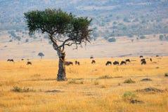 afrykanina drzewo krajobrazowy odludny Obrazy Stock