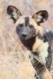 afrykanina dziki psi Zdjęcia Stock