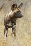 afrykanina dziki psi Obrazy Stock