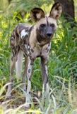 afrykanina dziki psi Zdjęcia Royalty Free