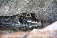 Afrykanina Karłowaty krokodyl odpoczywa w płytkiej wodzie fotografia stock