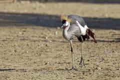 Afrykanina Koronowany żuraw Zdjęcia Royalty Free