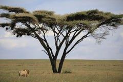 Afrykanina krajobraz podczas gdy w safari Zdjęcia Royalty Free