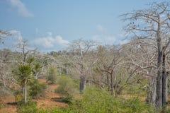 Afrykanina krajobraz w Angola, baobabów drzewa Obraz Royalty Free