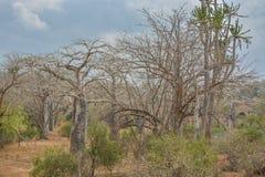 Afrykanina krajobraz w Angola, baobabów drzewach i kaktusie, Zdjęcie Royalty Free