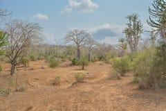 Afrykanina krajobraz w Angola, baobabów drzewach i kaktusie, Obraz Royalty Free