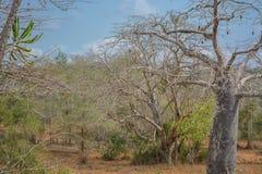 Afrykanina krajobraz w Angola, baobabów drzewach i roślinności, Fotografia Royalty Free