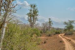 Afrykanina krajobraz w Angola, wysoki kaktus obrazy royalty free
