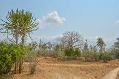 Afrykanina krajobraz w Angola, wysoki kaktus Obraz Stock