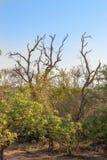 afrykanina krajobraz w UAR, Kruger park Fotografia Royalty Free
