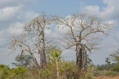 Afrykanina krajobraz, wysocy baobabów drzewa Fotografia Stock