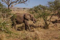 Afrykanina krajobraz z łasowanie słoniem Zdjęcie Stock