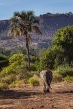 Afrykanina krajobraz z chodzącym słoniem Fotografia Royalty Free