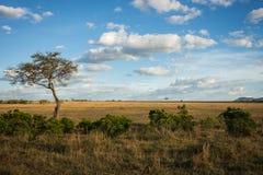 Afrykanina krajobraz z drzewnym Kenja Obrazy Stock