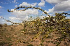 Afrykanina krajobraz z drzewnym Kenja Zdjęcie Royalty Free