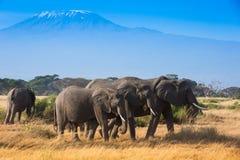 Afrykanina krajobraz z elephantsand Kilimanjaro górą Fotografia Stock