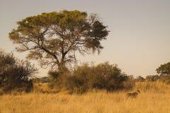 Afrykanina krajobraz z lwicą Obrazy Royalty Free