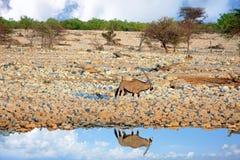 Afrykanina krajobraz z Oryx odbija w wodzie w Etosha parku narodowym, Namibia Obrazy Stock