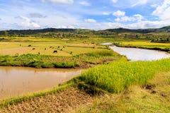 Afrykanina krajobraz z rzecznym bieg przez ryżowych poly Zdjęcie Royalty Free