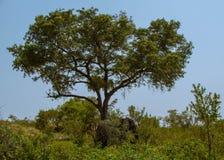 Afrykanina krajobraz z słoniami w lesie Obraz Stock