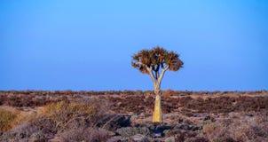 Afrykanina krajobraz z samotnym kołczanu drzewem Zdjęcie Stock