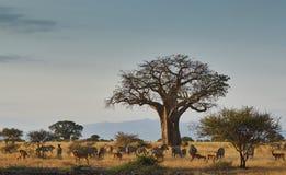 Afrykanina krajobraz z zwierzętami Obraz Stock
