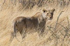 Afrykanina lew Zdjęcie Royalty Free