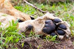 Afrykanina Lion's łapa Obrazy Royalty Free