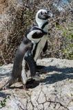 Afrykanina lub Jackass pingwiny Zdjęcia Royalty Free