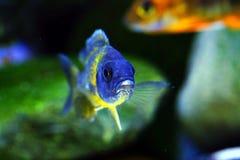 Afrykanina Malawi cichlid akwarium ryba słodkowodna Fotografia Stock