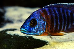 Afrykanina Malawi cichlid akwarium ryba słodkowodna Fotografia Royalty Free