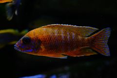Afrykanina Malawi cichlid akwarium ryba słodkowodna Obrazy Stock