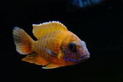 Afrykanina Malawi cichlid akwarium ryba słodkowodna Zdjęcia Stock