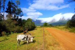 Afrykanina Nguni byki na paśniku Zdjęcia Stock
